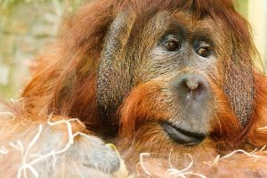 A orangutan, you can see these and have a great family time in Miami