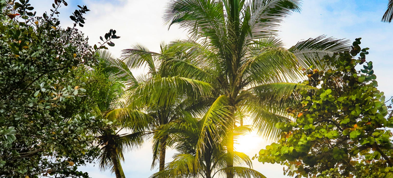 Palms which you can find in Pompano Beach and Boca Raton