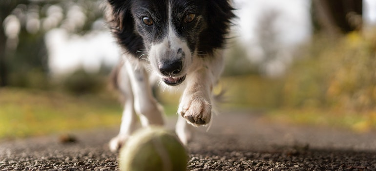 A dog running for a ball